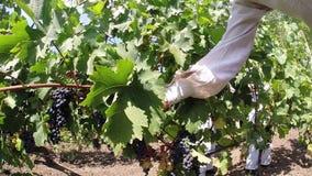 Aradac, SÉRVIA em setembro de 2016: Colheita da uva video estoque