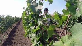Aradac, SÉRVIA em setembro de 2016: Colheita da uva vídeos de arquivo