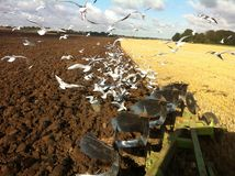 Arado con las gaviotas Foto de archivo libre de regalías
