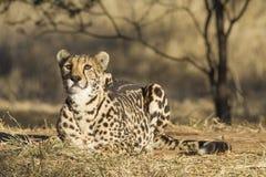 A arae Female King Cheetah (acinonyx jubatus) in South Africa. Female King Cheetah, a rare melanistic variant (Acinonyx jubatus) in South Africa Royalty Free Stock Photo