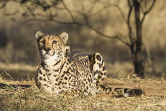 Arae królewiątka Żeński gepard w Południowa Afryka (acinonyx jubatus) Zdjęcie Royalty Free