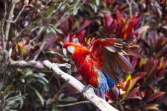 Arafågeln som fördelar dess vingar, will sammanträde på en filial Royaltyfri Foto