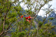 Arafåglar som spelar i ett träd i en rainforest Fotografering för Bildbyråer