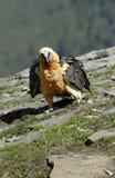 aragonese pirineros ospreys Στοκ εικόνες με δικαίωμα ελεύθερης χρήσης