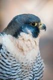 Aragorn falcon. Closeup of aragorn raptor bird from family of falcons stock images