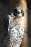 Aragorn raptor bird. Closeup of aragorn raptor bird from family of falcons Royalty Free Stock Photos
