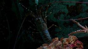 Aragosta alta vicina in carro armato di pesce stock footage