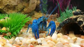 Aragosta blu Immagini Stock Libere da Diritti