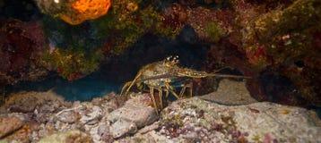 Aragosta caraibica Fotografia Stock