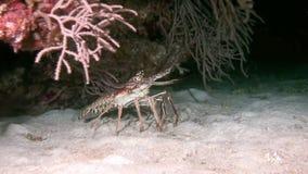 Aragosta che cammina su Coral Reef alla ricerca dell'alimento video d archivio