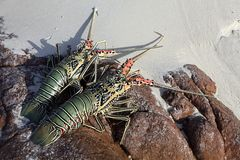 Aragosta cruda Fotografie Stock Libere da Diritti
