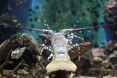 Aragosta del mare delle Andamane Fotografia Stock Libera da Diritti