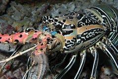 Aragosta dell'Oceano Indiano Immagini Stock Libere da Diritti