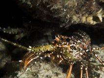 Aragosta nel Bonaire Immagini Stock Libere da Diritti