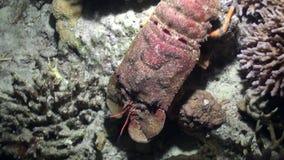 Aragosta gobba della pantofola di scyllarides haanii su fondale marino del Mar Rosso video d archivio