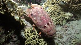 Aragosta gobba della pantofola di scyllarides haanii su fondale marino del Mar Rosso stock footage