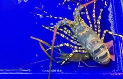 Aragosta grande su un blu del contenitore e del vassoio con acqua nel mA immagini stock libere da diritti