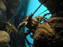Aragosta nel paese Fotografie Stock