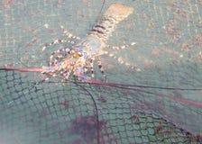 Aragosta nella rete da pesca nell'agricoltura nel sud della Tailandia Fotografia Stock
