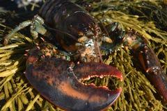 Aragosta selvaggia sulla costa della Maine fotografie stock