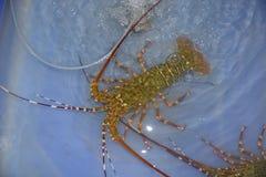 Aragosta in stagno Fotografie Stock Libere da Diritti