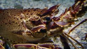 Aragosta sul fondo marino video d archivio