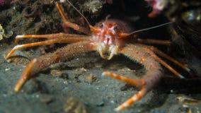 Aragosta tozza - lago Creran Immagini Stock