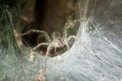 Araignée étroite en son trou Images stock