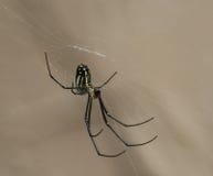 Araignée accrochante de verger Photo stock
