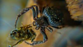 Araignée affamée mangeant l'insecte pour le déjeuner Photo libre de droits