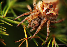 Araignée attendant la mise à mort Image libre de droits