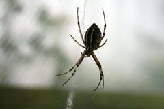 Araignée attendant la victime photo stock