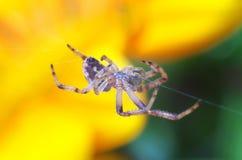 Araignée au-dessus de fleur Photos libres de droits