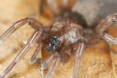 Araignée au sol furtive (Gnaphosidae) Photo libre de droits