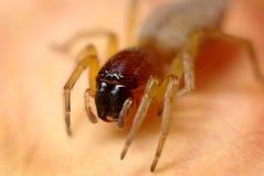Araignée au sol - lapidosus de Drassodes Images libres de droits