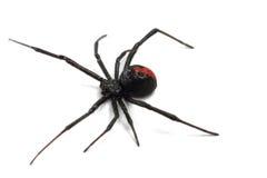 Araignée australienne de redback Images libres de droits