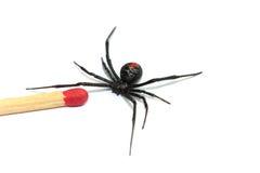 Araignée australienne de redback Photographie stock libre de droits