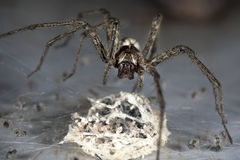 Araignée avec l'oeuf photos stock