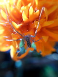 Araignée avec la jambe 5 Photos stock