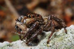 Araignée avec la proie attrapée Photo stock