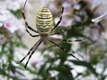Araignée - baril jaune Photos stock