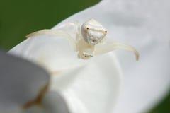 Araignée blanche 2 de crabe photos stock