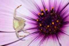 Araignée blanche attendant sur la fleur image stock
