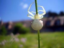 Araignée blanche de crabe Images libres de droits