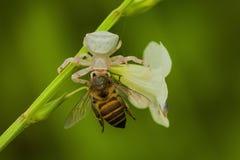 Araignée blanche mangeant l'abeille Photo libre de droits