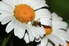 Araignée blanche mangeant une abeille Image stock