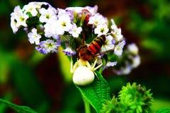 araignée blanche sur l'abeille contagieuse de fleur photographie stock