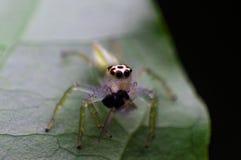 Araignée branchante Image stock