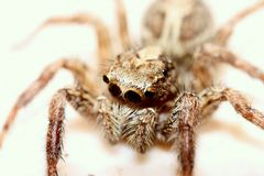 Araignée branchante Photo libre de droits