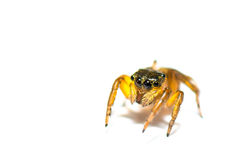 Araignée branchante Photos libres de droits
